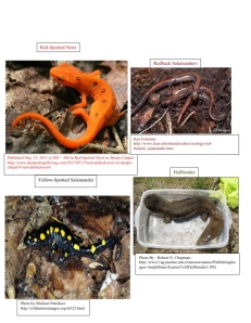 Salamanders-Erica Dulka_001